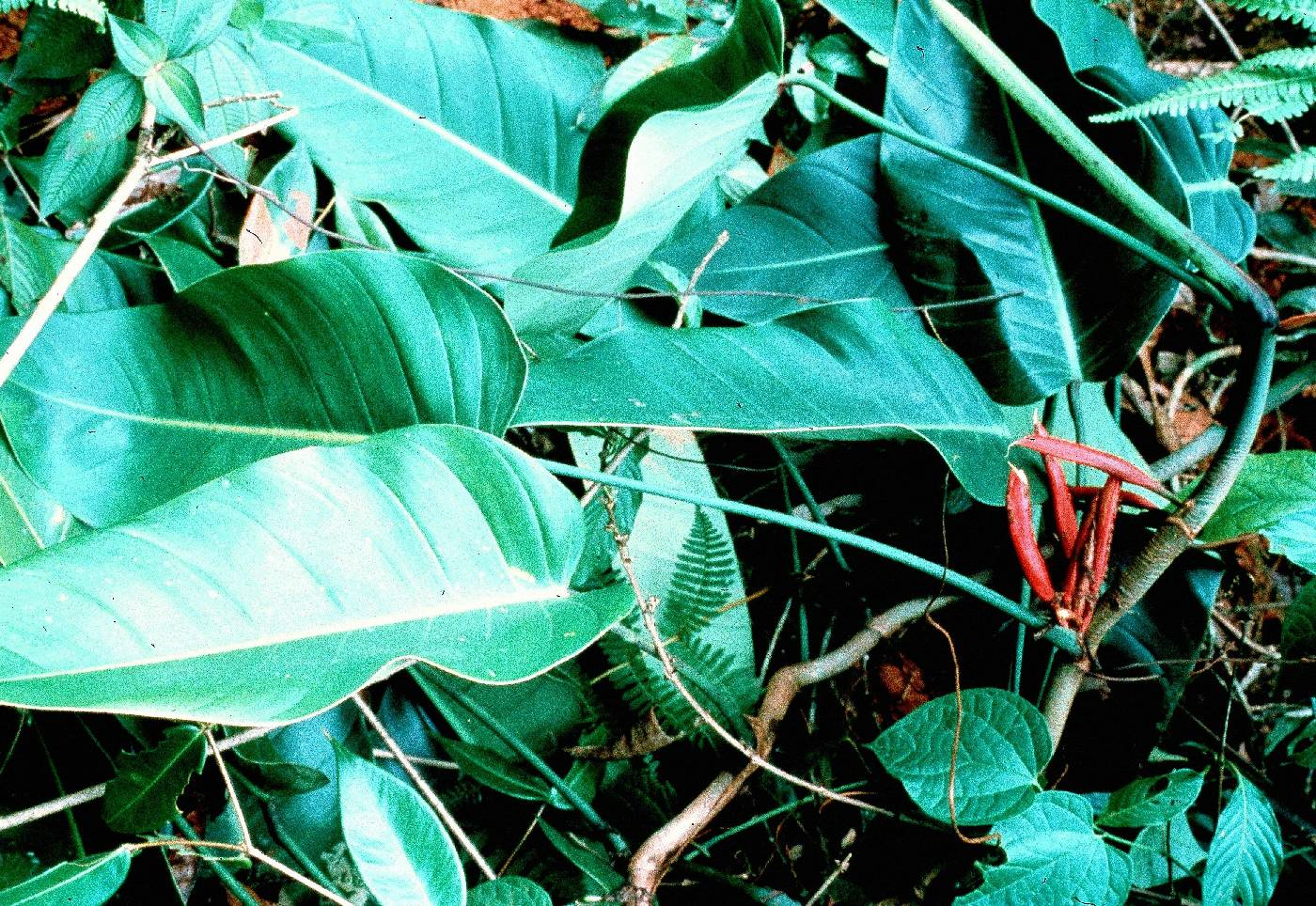 Philodendron heleniae image
