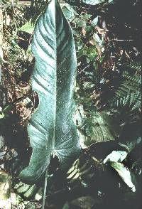Philodendron straminicaule image