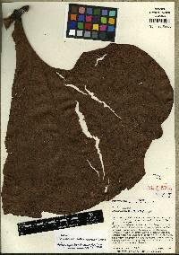 Image of Anthurium antonioanum