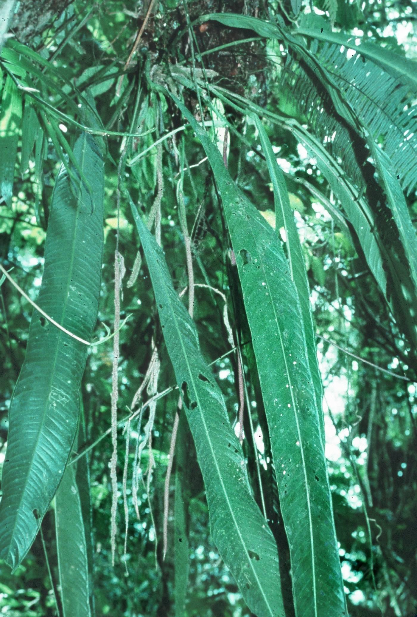 Anthurium prolatum image