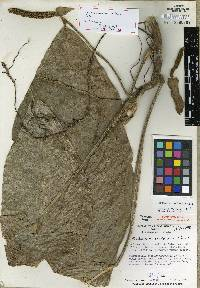 Image of Anthurium coclense