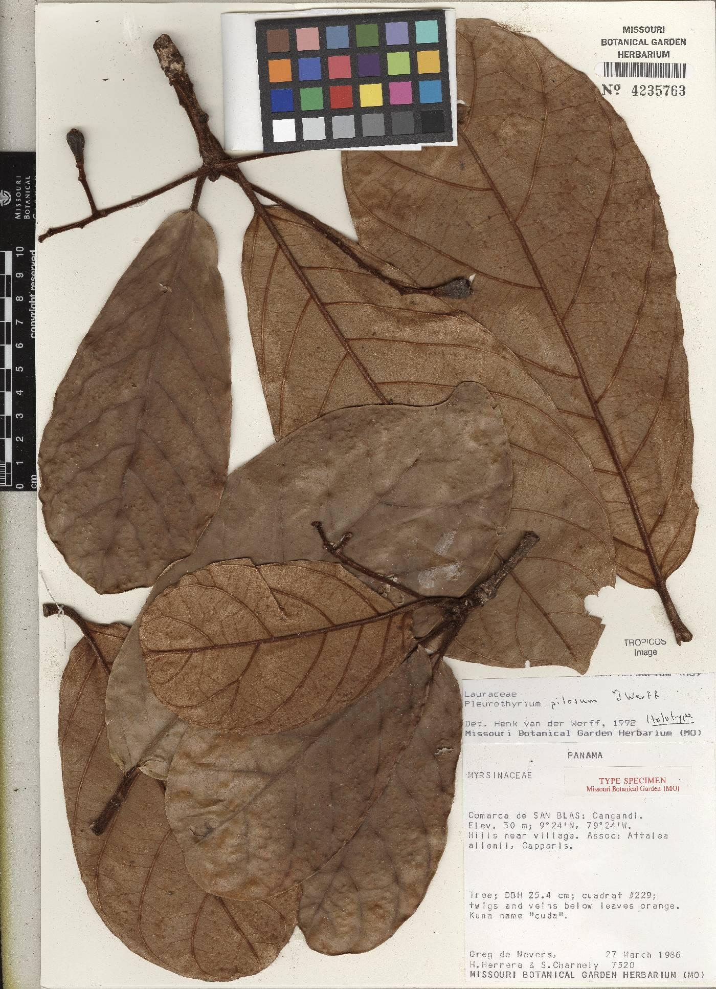 Pleurothyrium pilosum image