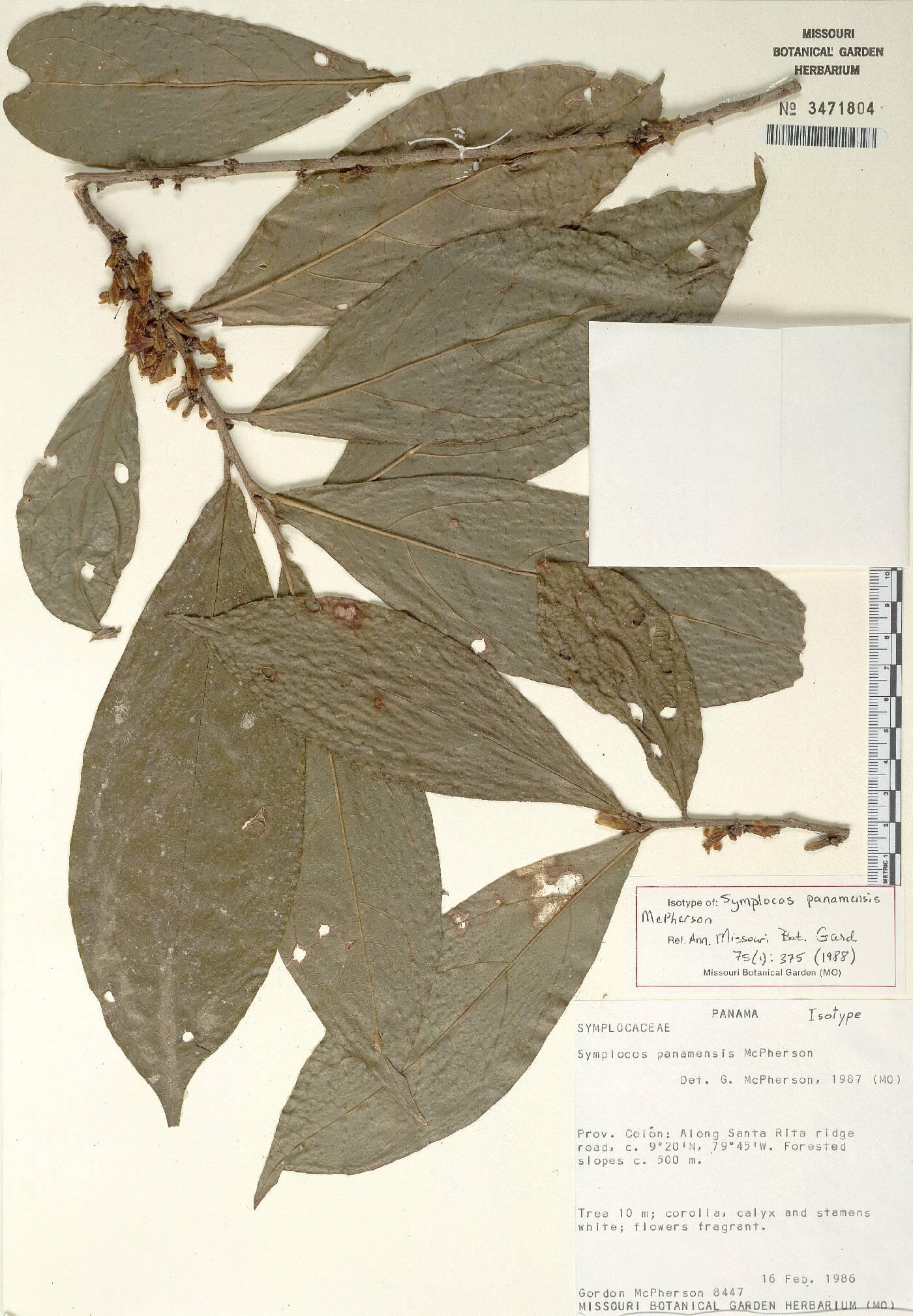 Symplocos panamensis image