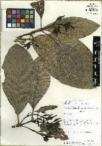 Coussarea latifolia image