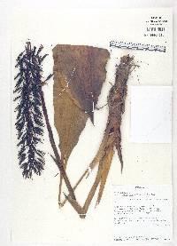 Pitcairnia multiflora image