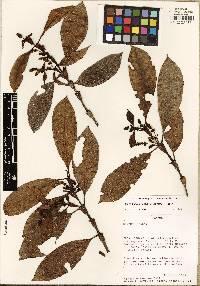 Hedyosmum bonplandianum image