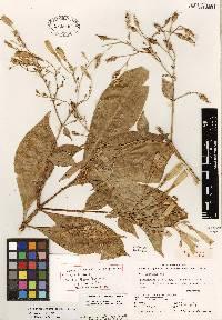 Lisianthius skinneri image