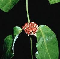 Marsdenia macrophylla image