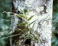 Image of Campylocentrum micranthum