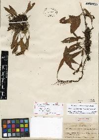 Pleopeltis panamensis image