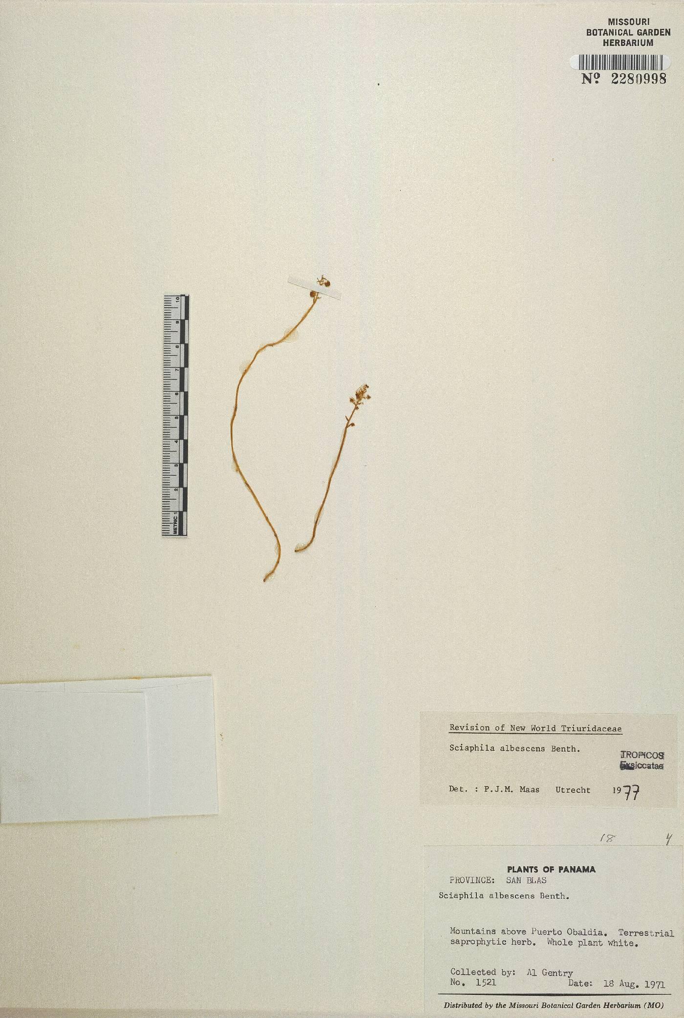 Sciaphila albescens image