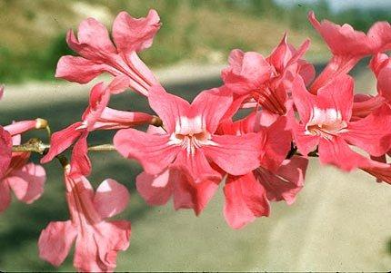 Bignonia neoheterophylla image