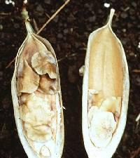 Anemopaegma chrysoleucum image