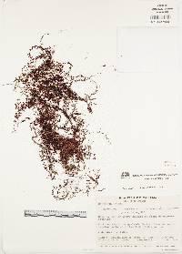 Image of Hymenophyllum semiglabrum
