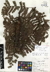 Image of Cyathea darienensis