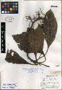 Hoffmannia subauriculata image