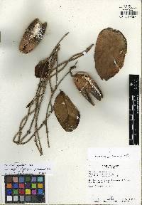 Marsdenia crassipes image
