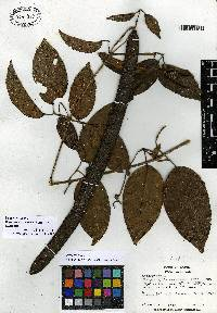 Bignonia corymbosa image