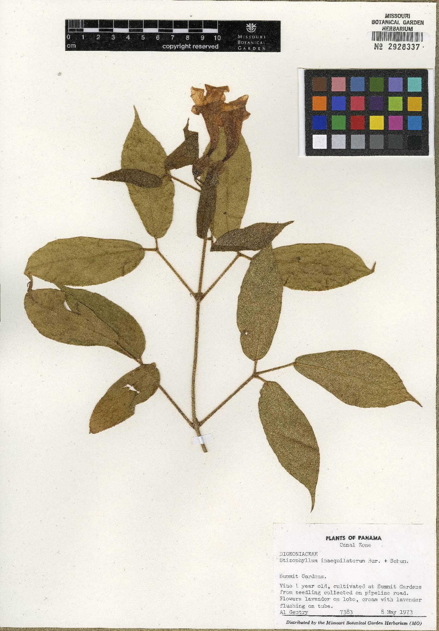Stizophyllum inaequilaterum image