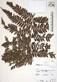 Polybotrya alata image