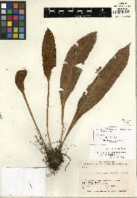 Elaphoglossum boquetense image