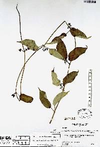 Image of Gonolobus fuscoviolaceus