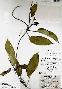Gonolobus chiriquensis image