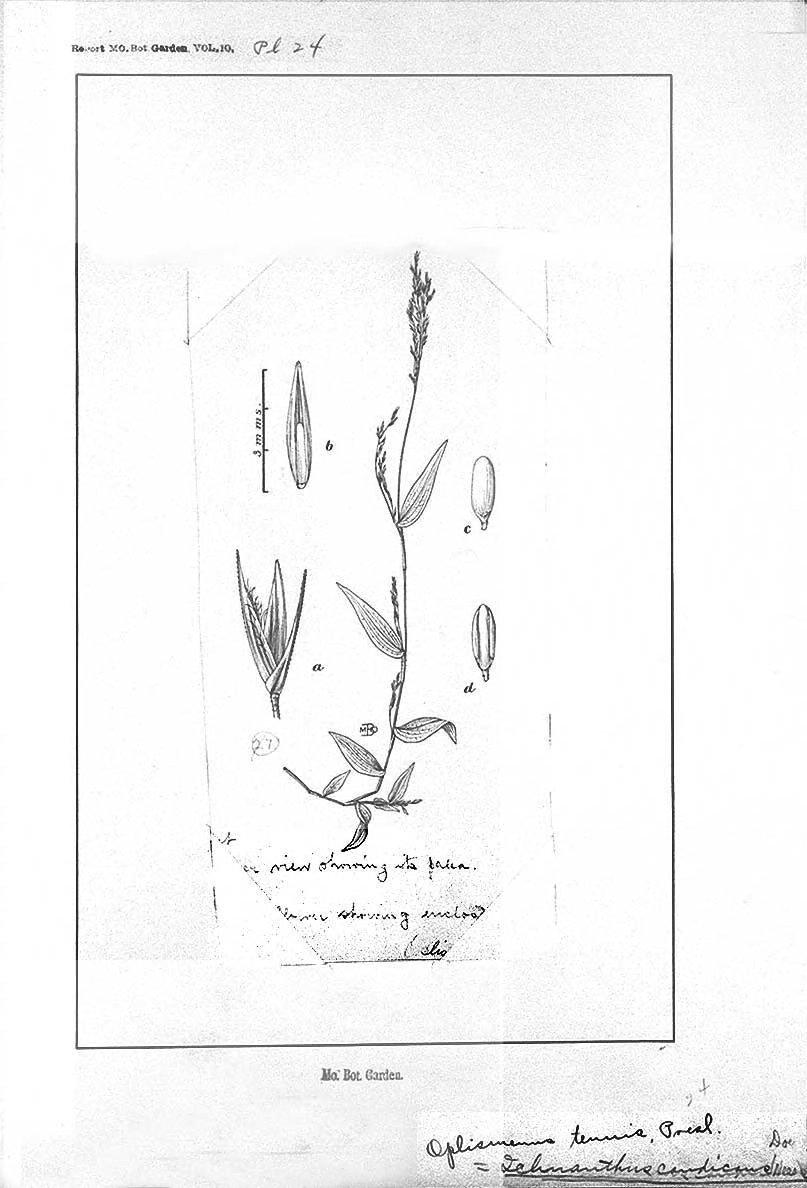 Ichnanthus tenuis image