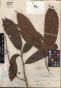Image of Ouratea flexipedicellata