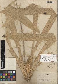 Image of Oncidium panamense