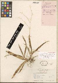Ionopsis utricularioides image