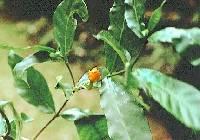 Stemmadenia grandiflora image