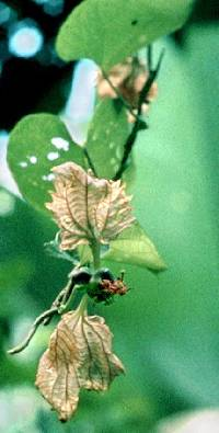 Dalechampia dioscoreifolia image