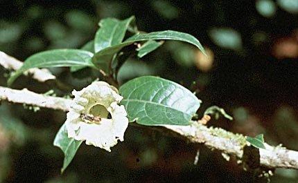 Amphitecna spathicalyx image