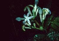 Ladenbergia dwyeri image