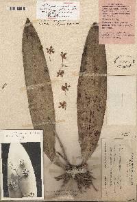 Image of Oncidium carthagenense