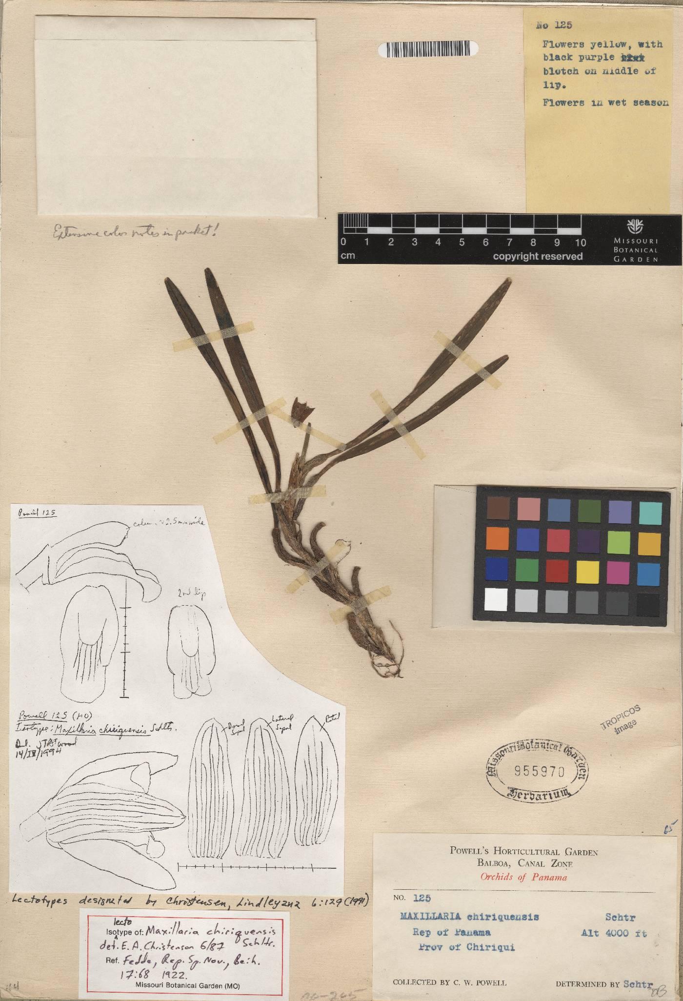 Maxillariella variabilis image