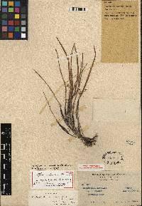 Image of Scaphyglottis acostae