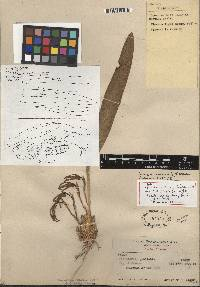 Image of Maxillaria brunnea