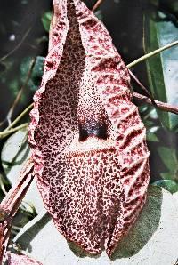 Aristolochia cordiflora image