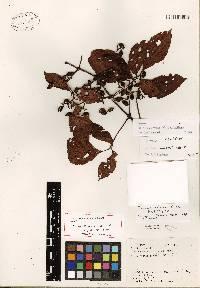 Image of Cissus serrulatifolia