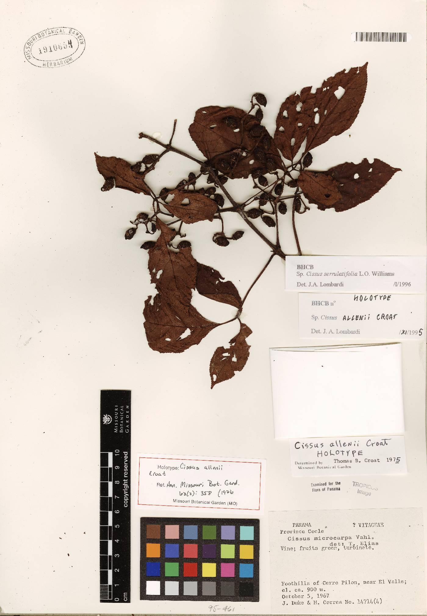 Cissus serrulatifolia image
