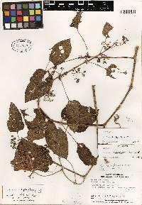 Image of Cissus fuliginea