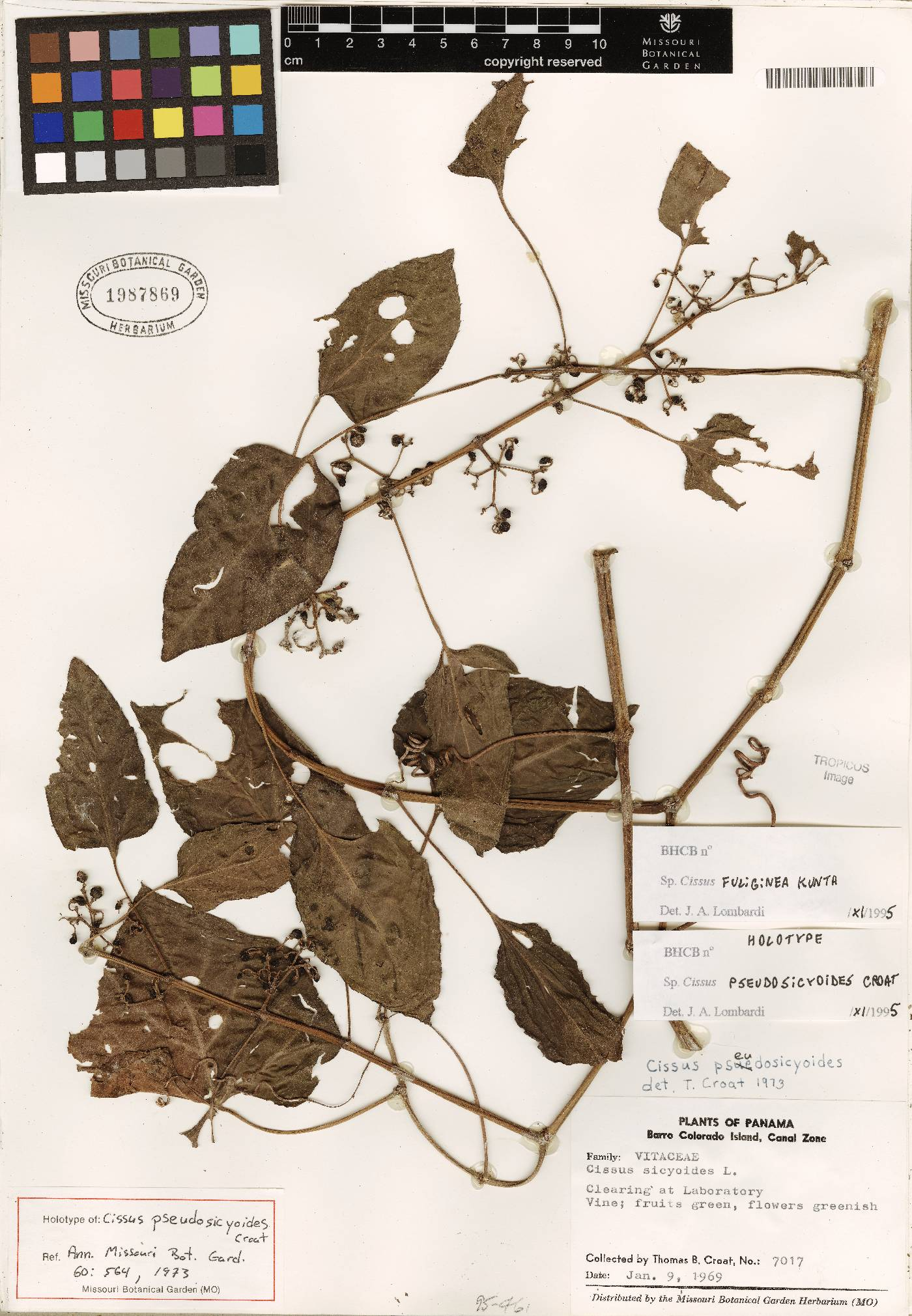Cissus fuliginea image