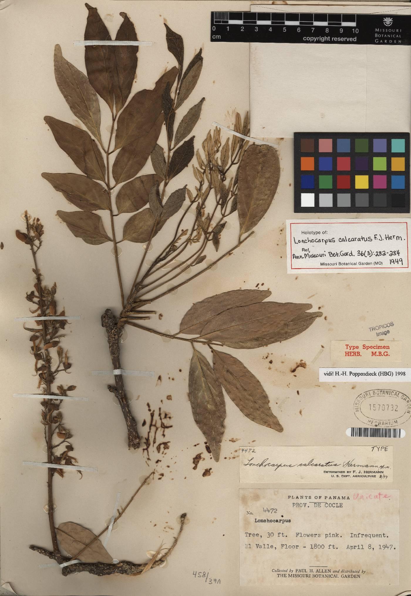 Dahlstedtia calcarata image