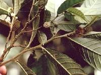 Helicostylis tovarensis image