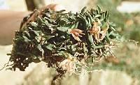 Epidendrum schlechterianum image