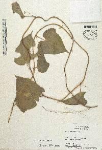 Image of Dioscorea trifoliata