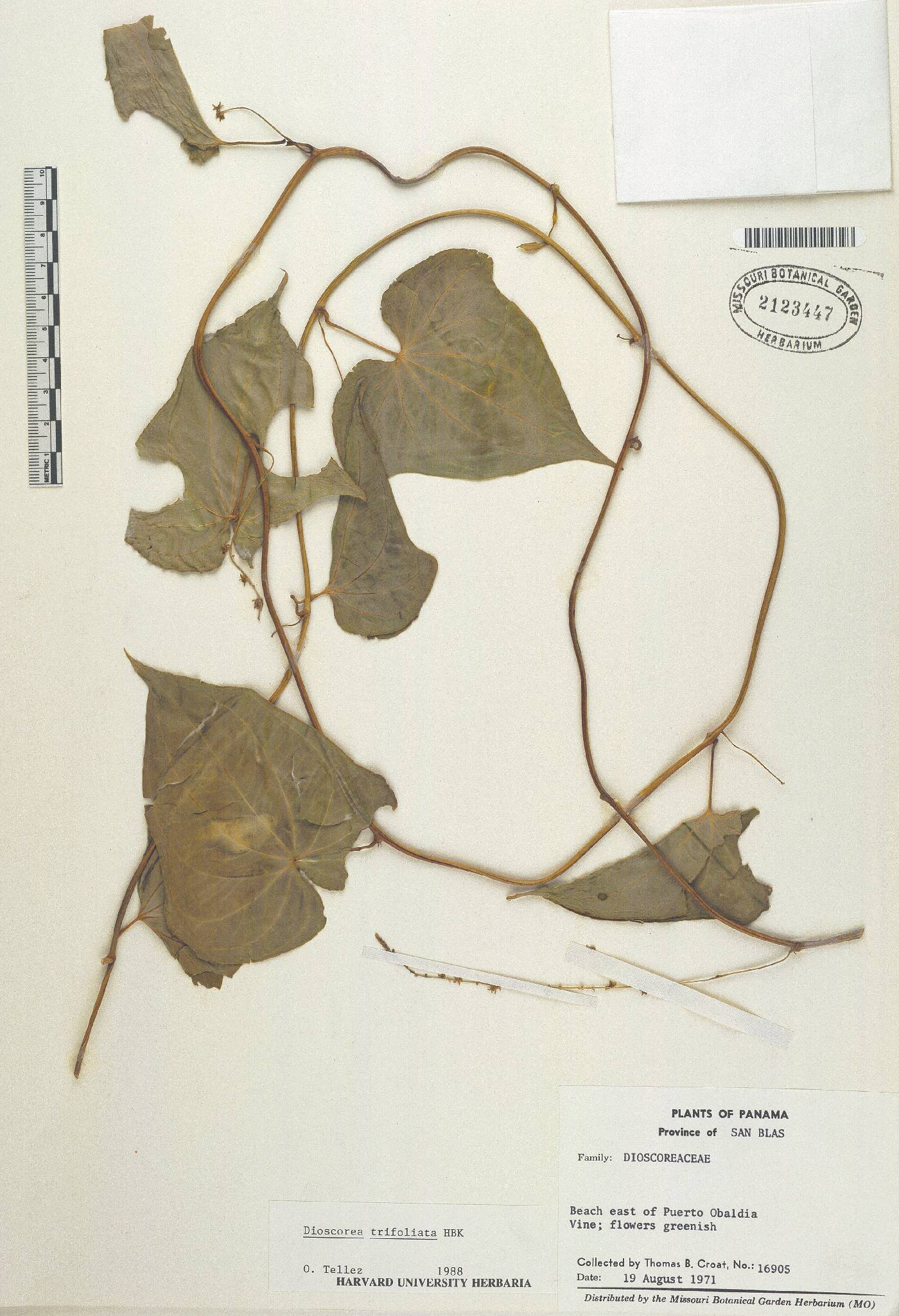 Dioscorea trifoliata image