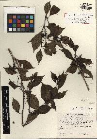 Image of Miconia chiriquiensis